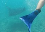 Swimming with manta rays, fiji